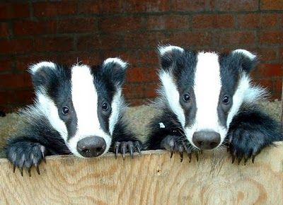 Baby badgers! For such a mean animal, they have really pretty babies.