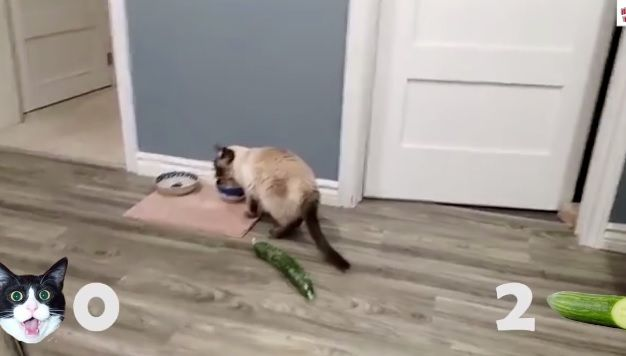 Cats+scared+of+Cucumbers+Compilation+–+Cats+Vs+Cucumbers