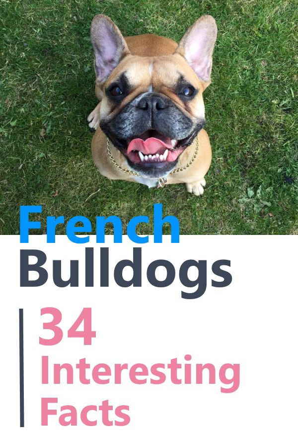 34 Facts About French Bulldogs French Bulldog French Bulldog