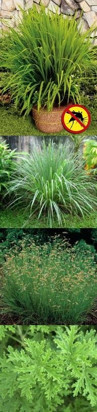 Fake - The first image is NOT mosquito grass.  - The first and second images are Cymbopogon (lemongrass) a genus of about 55 species of grasses, (of which the type species is Cymbopogon citratus [a natural and soft tea Anxiolytic]). Common names include lemon grass, lemongrass, barbed wire grass, silky heads, citronella grass to name a few. The third image is Mosquito Grass(bouteloua gracilis) and the fourth image is a Mosquito Plant a scented geranium called (Pelargonium citrosum…