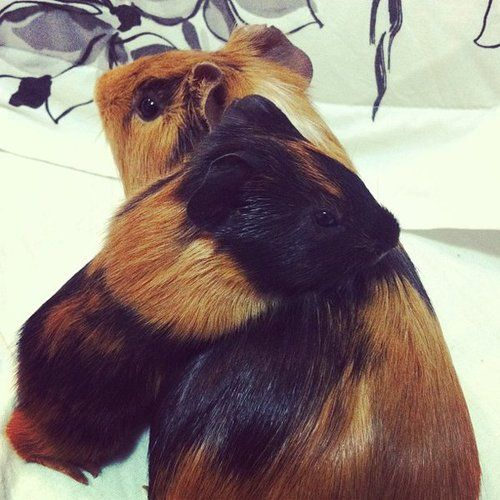 Mom and baby guinea pig by ~hoovesandpaws