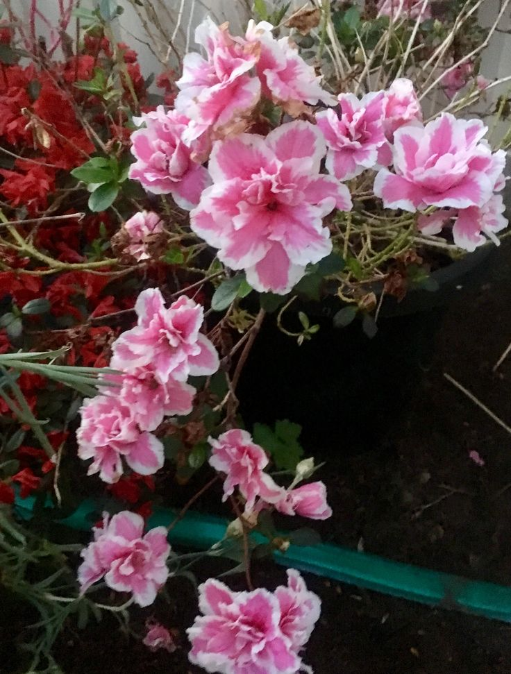 Pink and white variegated azalea