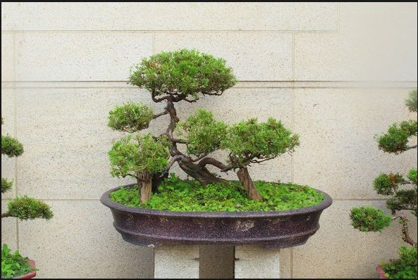 aneka-tanaman-bonsai
