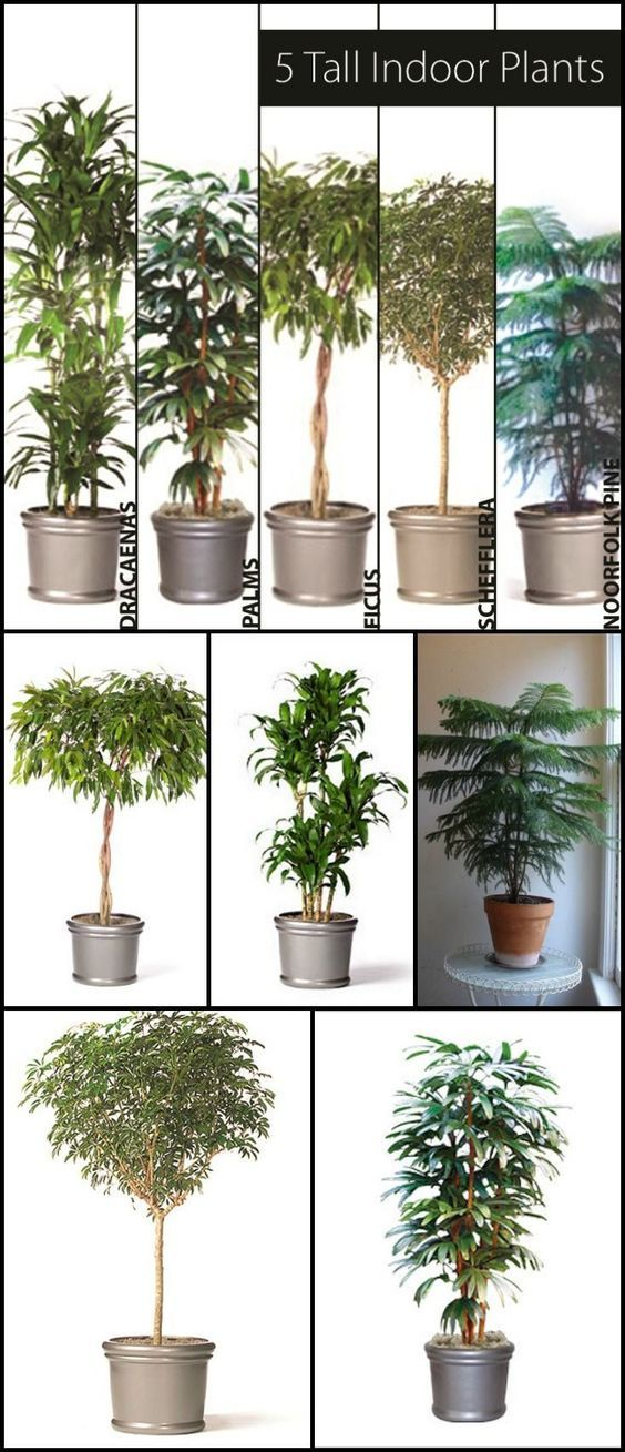 5 Tall Indoor Plants   Http://www.ambius.com/blog