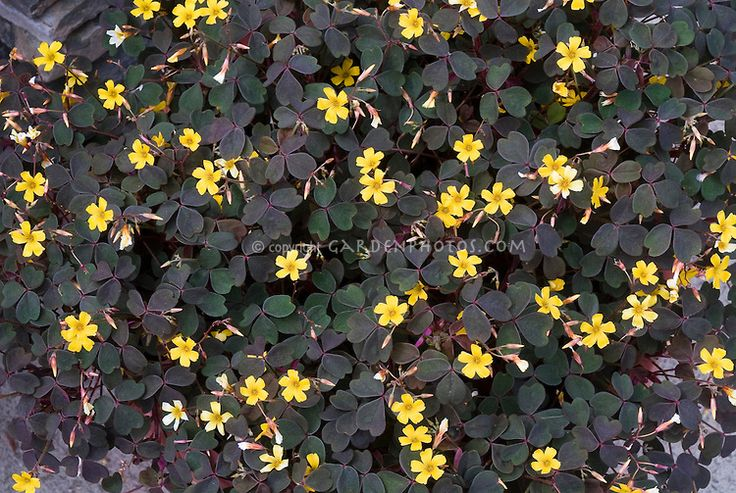 Oxalis Burgundy Dark Foliage Purple Shamrock In Yellow