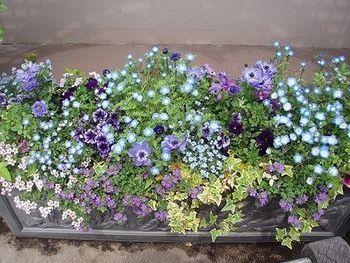 アネモネ、ペチュニア、ネモフィラ、バコパなど、ブルー系統でまとめられた寄せ植え。 このように色を散らす植え方で、全体的に柔らかいイメージになっています。
