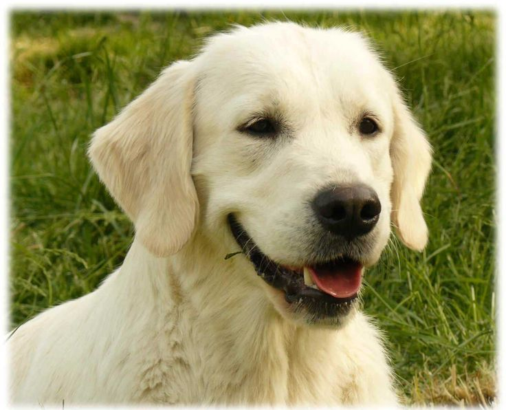 Mamans et Ethique, Elevage Golden Retriever, Sweet Loving Heart