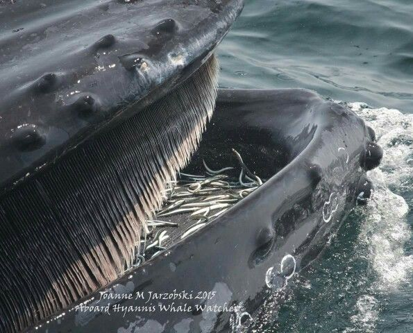 Best Whales Images On Pinterest Brittany Beautiful And Best - Rare moment 40 ton whale jumps completely out of the water