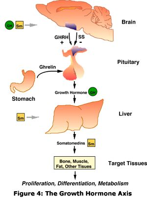 relationship between cortisol and glucagon stimulation