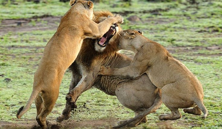 Pride and extreme prejudice: The wrath of an entire group of lions is unleashed on lone male who wanders too close to female's cubs    Read more: http://www.dailymail.co.uk/news/article-2280976/The-wrath-entire-group-lions-unleashed-lone-male-wanders-close-females-cubs.html#ixzz2LMhSQV53  Follow us: @MailOnline on Twitter | DailyMail on Facebook