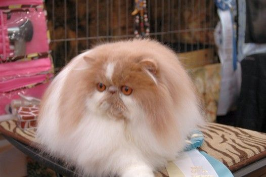 Midwest Persian Tabby Fanciers 54th CFA allbreed cat show recap