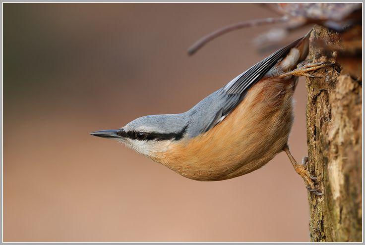 kleiber sitta europaea  vögel fotos kleiber