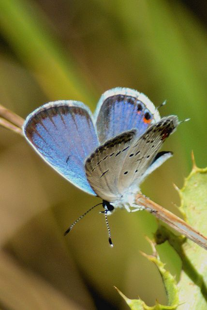 The Eastern Tailed Blue (Cupido comyntas), also known as Everes comyntas, is a common butterfly of eastern North America. Males are generally blue on the upperside of their wings while females are lighter blue to brown or charcoal in coloring, but there are also varieties of purple and pink found in both sexes. The underside coloration ranges from bluish-white to tan. There are two or three  black to orange chevron-shaped spots on the rear of the hind wings and a trailing tail