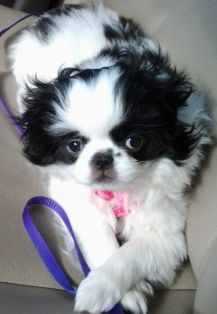 Pin Japanese Chin Puppies Tattoo on Pinterest