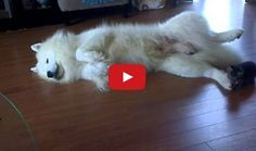 Little Kitten and His Samoyed Friend - adorable