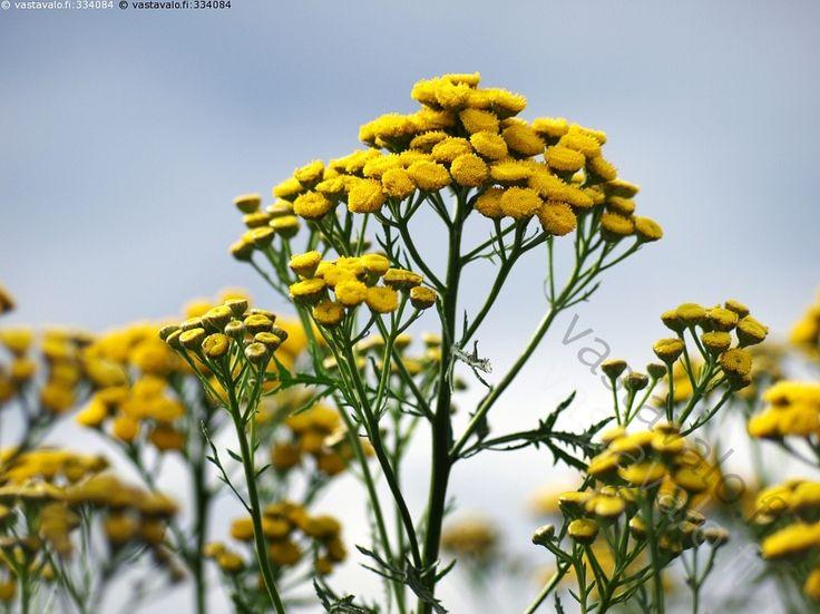 Keltaiset - rikkakasvi keltainen keltaiset kukka kukat kukkivat kukkia kesä…