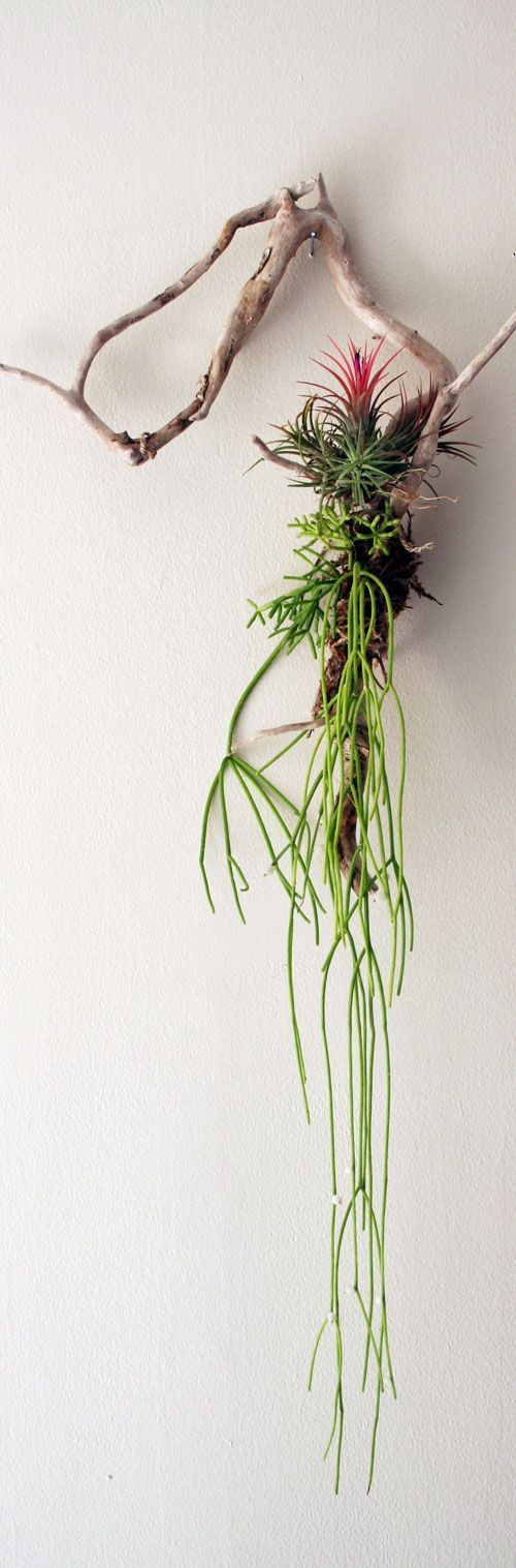 Ingredients Driftwood (cleaned and free of salts) Sphagnum Moss (long grain works best) Twine Tillandsia (Air Plant) Mistletoe Cactus (Look for Rhipsalis with the Exotic Angel houseplants).