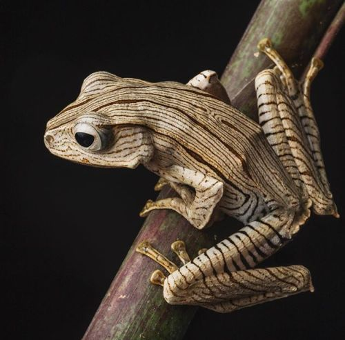 The Borneo Eared Frog(Ploypedates otilophus) also known as the Eared Tree Frog inhabits lowland rainforests. The species is easily identified by its large size and by the prominent ridges which lie above the eye and external ear-drum. Its dorsal...
