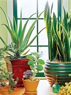 Indoor conditions can be tough on plants, especially during winter when low humidity dries out potting soil quickly. To ensure success, look for houseplants that can take periods of drought. And try potting them in large containers; the smaller the pot, the more quickly it dries out./