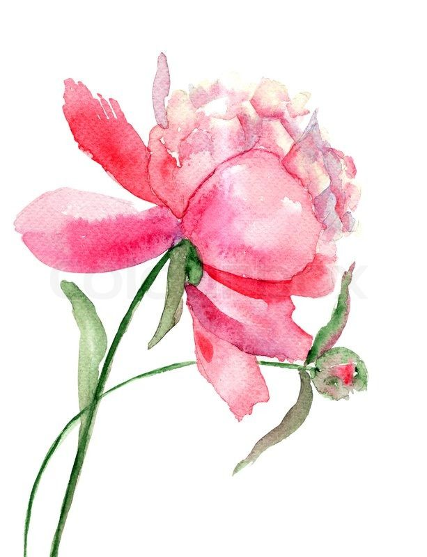 Beautiful Peony flower, Watercolor painting | Stock Photo | Colourbox on Colourbox