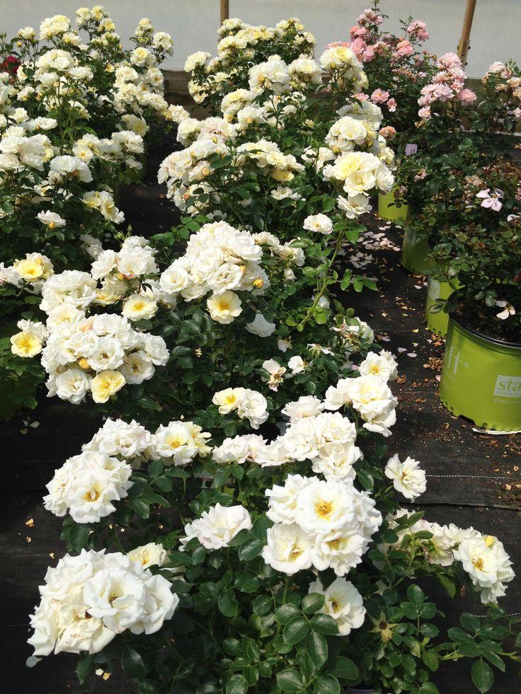 Popcorn Drift in pots  Drift Groundcover Roses  Drift roses Ground cover roses Landscaping plants