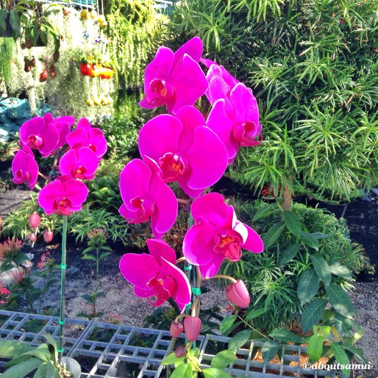 Orchids from Aboutsamui.ru