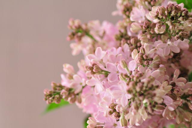 ライラック ピンク http://hanaya87.com/library/flower/flmt523