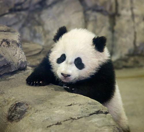 "This is ""Bao Bao"", the cutest Panda cub at the Washington DC National Zoo. He now weighs 24lbs!"