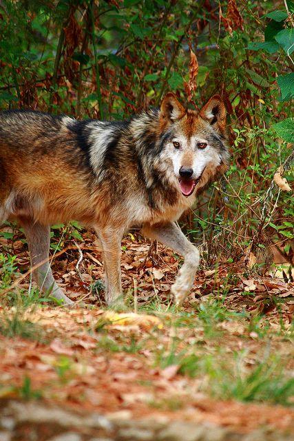 Lobo mexicano (Canis lupus baileyi) en la UMA Coatepec Harinas, México.  | by tonatiuh_hu