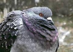 Como Fazer Controle de Pombos  http://www.doencadepombo.com/2015/08/como-fazer-controle-de-pombos.html