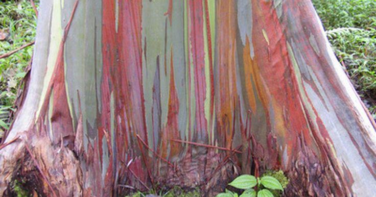 Árboles de eucalipto en México. Originarios de Australia, Filipinas y Nueva Guinea, los árboles de eucalipto son de hojas perennes y pertenecen a la familia de las mirtáceas. A pesar de que existen más de 700 especies de eucaliptos, sólo 15 especies se localizan en América. Entre estos ese encuentran los enormes árboles gomeros, conocidos por su inusual corteza pelada, muy ...