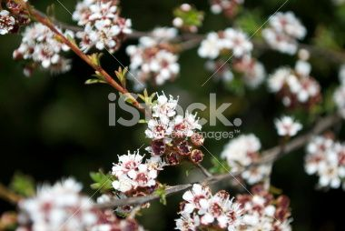 Kanuka (Kunzea ericoides) Tea Tree Royalty Free Stock Photo