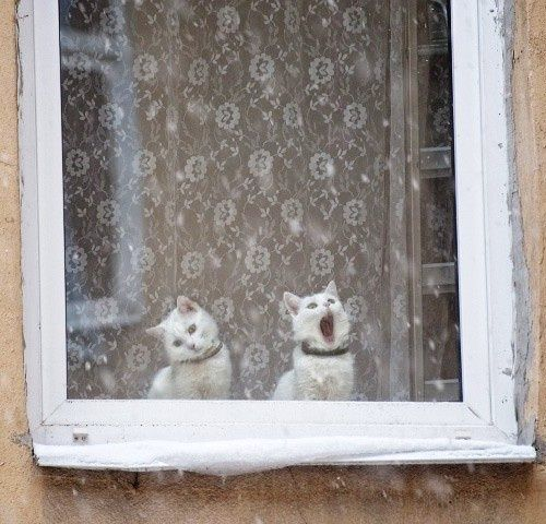 Two white cats in the window