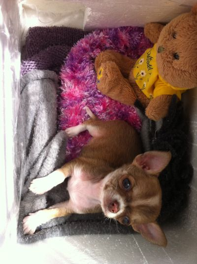 Awwww Bambi is just chillin These are pictures of my chihuahua puppies :) They are all my photos! :D free website hit counter...
