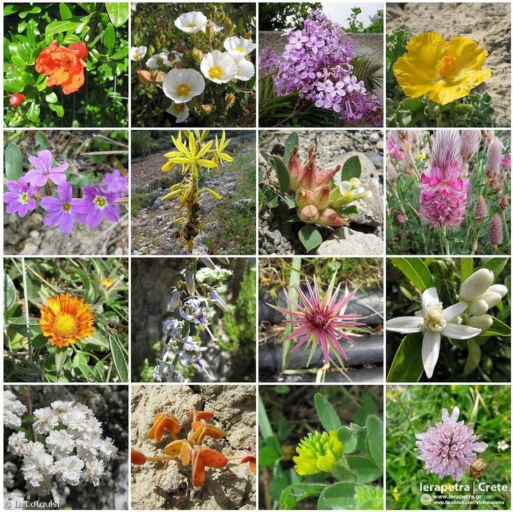 Spring flowers III  Eastern Crete, March-April, 2012    Copyright: Ia Löfquist
