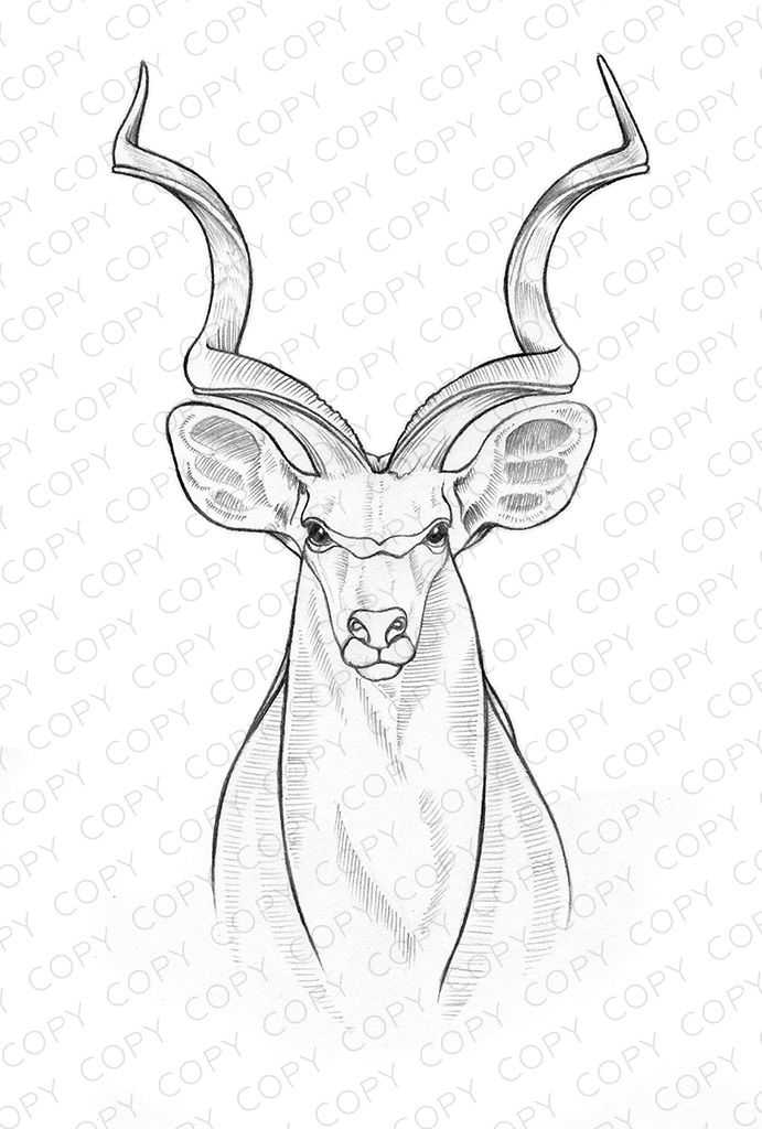 Kudu Sketch Drawing Illustration