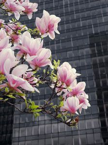 Saucer Magnolia - The Saucer Magnolia, also known as the Japanese or Oriental Magnolia, is a beautiful deciduous tree, with a large saucer-shaped creamy-white bloom that is purplish-pink on the outside. It can grow to be 20 to 30 feet tall, and blooms in the early Spring.