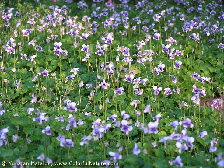 Image result for Viola hederacea