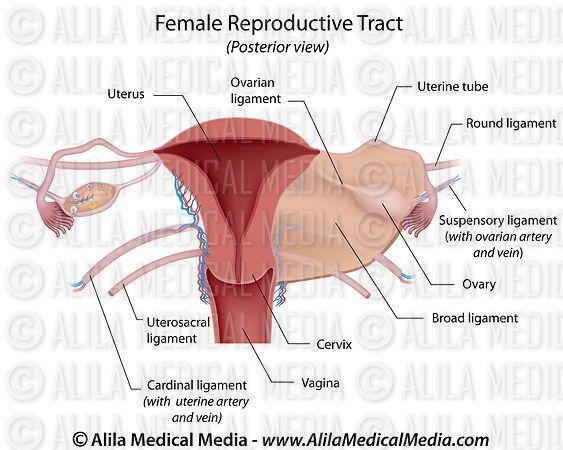Female Reproductive System Diagram Labeled Beautiful Alila ...