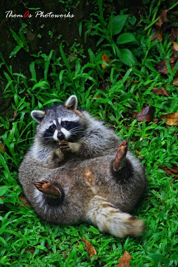 Cuddly Raccoon fat ass!!! Funny Pinterest Sweet corn
