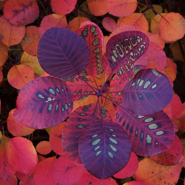 Cotinus coggygria 'Royal Purple' showing leaf pattern. Other names for shrub include Smoke tree and Venetian sumac