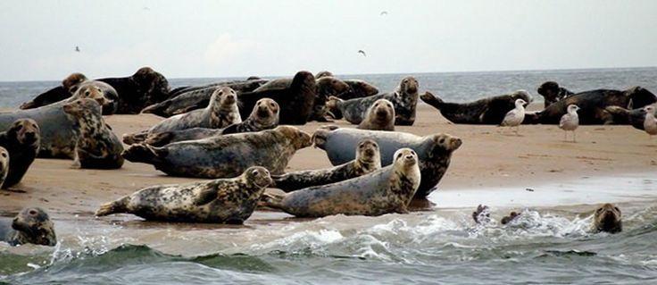 Heel normaal, een zeehond op het land! Ze komen er om uit te rusten, van de zon te genieten, maar ook om hun jongen te krijgen en te zogen. Geniet er van van een afstandje. Je ziet, de zeehonden houden goed in de gaten of je niet te dichtbij komt!