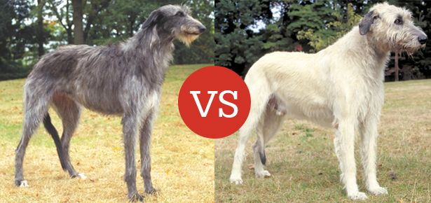 The Scottish Deerhound vs Irish Wolfhound