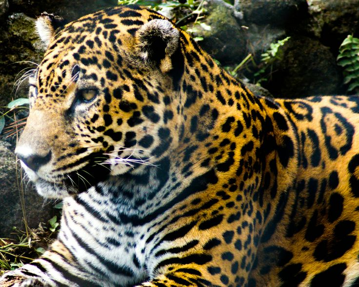 Jaguar du panama