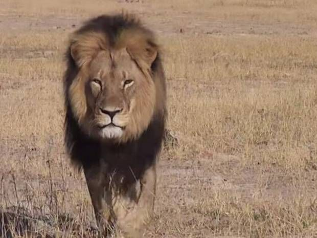 Cecil the Lion: Zimbabwe searches for hunter who killed iconic big ...