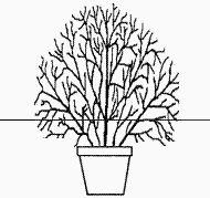 Pruning Tips for Hardy Fuchisia 'Mrs Popple' (bed under back window)