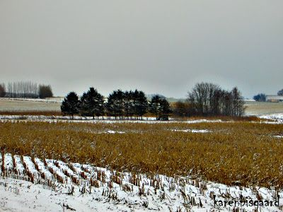 Karen`s Nature Photography: Snowscape With Left Behind Maize Plants.