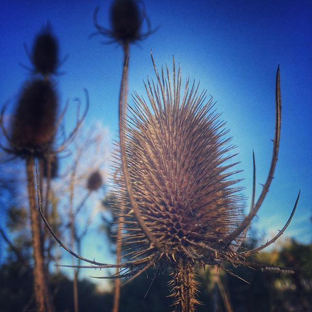 I love this Dipsacus aka #teasel unfortunately considered an invasive weed in Ontario as it's leaves shade native ground cover. Perhaps it will find itself useful as source of seed for finches, pollen and nectar for bees and in dried arrangements on my table. Taken by Alison Pentland.