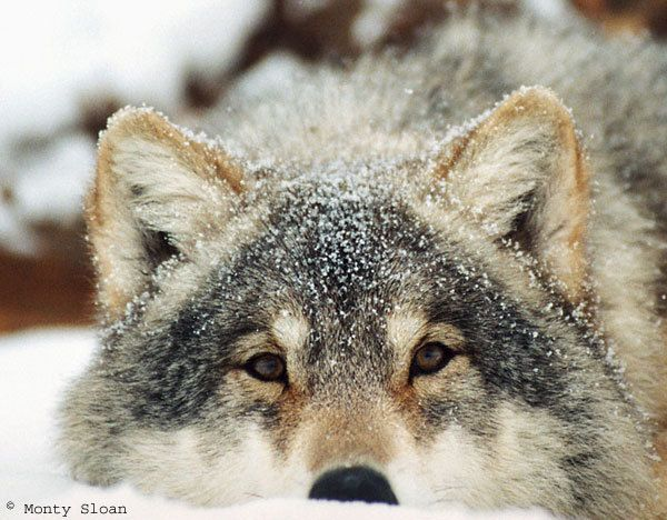 Google Image Result for http://images2.fanpop.com/images/photos/6500000/Snow-Wolf-wolves-6577339-600-468.jpg