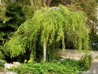 Best 25 betula pendula ideas on pinterest for Arbre de jardin a croissance rapide